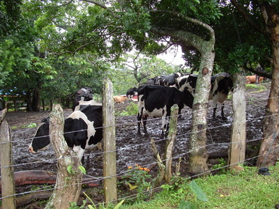 Costa Rican Cows (for Haley)